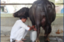 Training on scientifically improved nutritional & management practices for buffalo husbandry in village Landhri