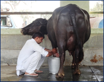 Results of Milk recording competition of farmers' buffaloes at ICAR-CIRB